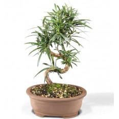 Podocarpus - CT7004PM