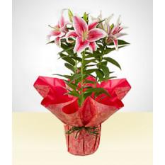 Doce: lírio plantado rosa