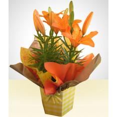 Alegre: Lírio plantado com laranja
