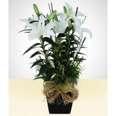 Calmo: lírio plantado branco