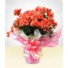 Muito amor: Begonia decorada